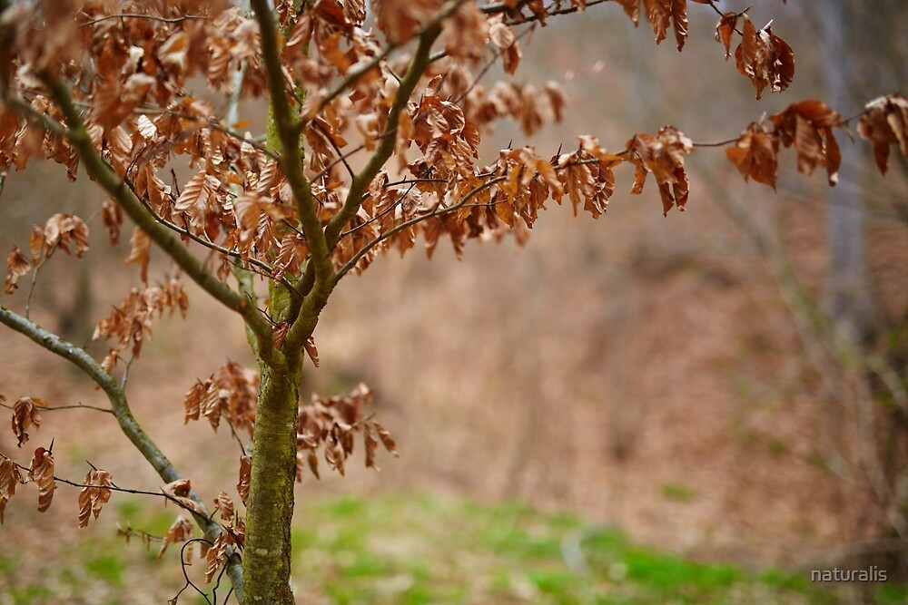 Young beech tree with dead leaves by naturalis