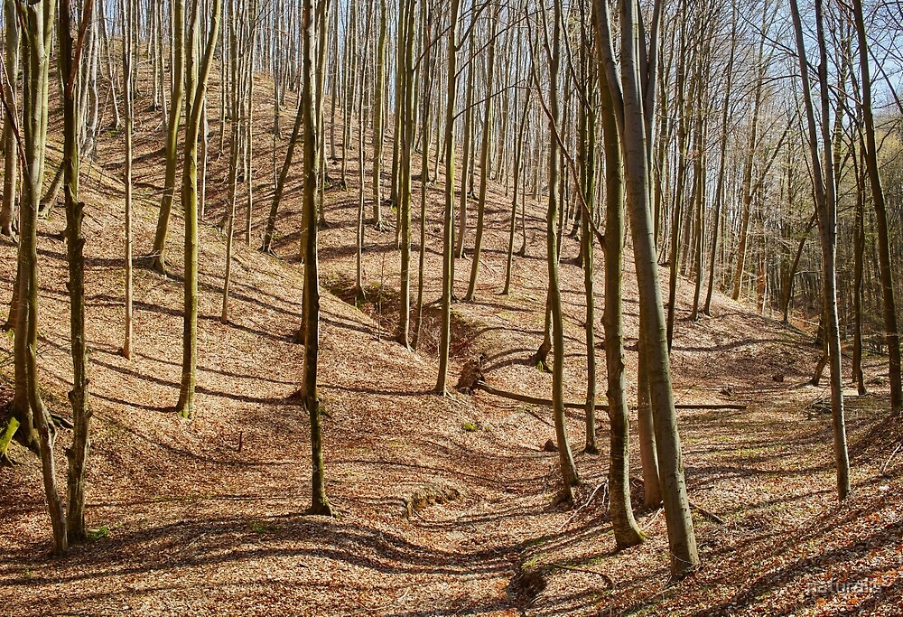 Landscape with beech forest on springtime by naturalis