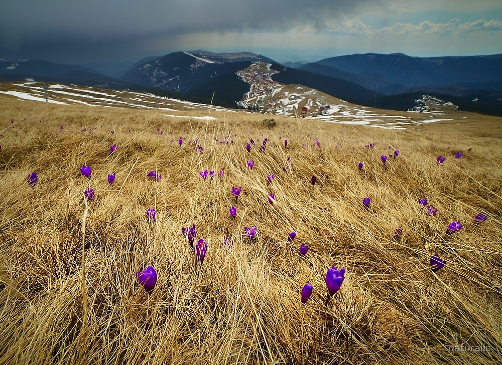 Crocus flowers on a meadow at mountain by naturalis