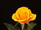Golden Rose - Olympic Gold by DPalmer