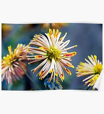 Colourful Chrysanthemum Poster