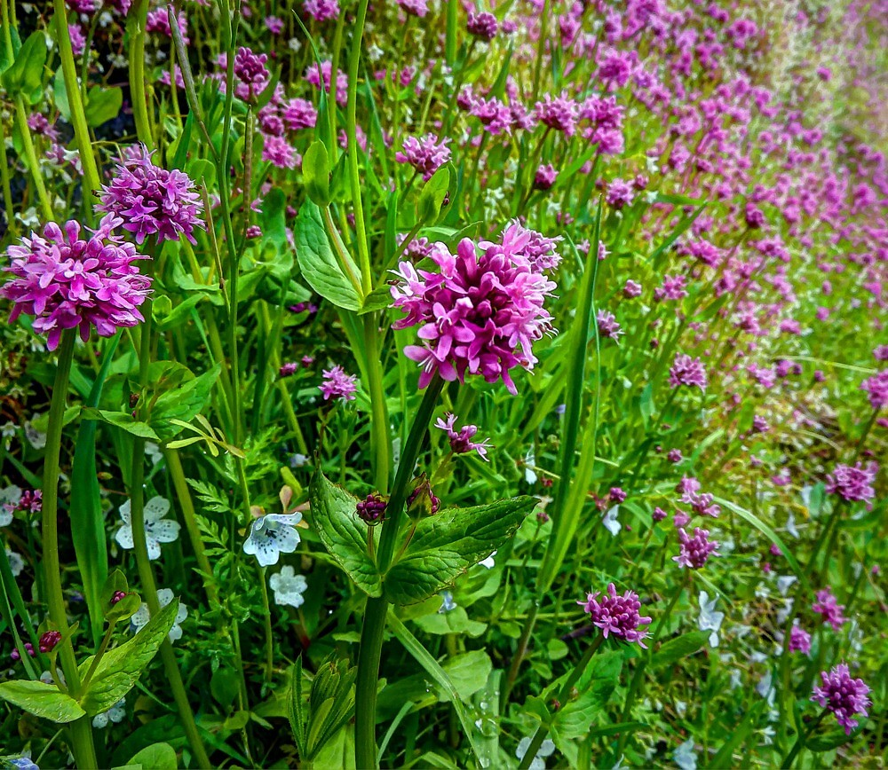 A Touch Of The Wild  ~ Wild Flowers ~ by Charles & Patricia   Harkins ~ Picture Oregon