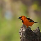Altamira Oriole by Richard G Witham