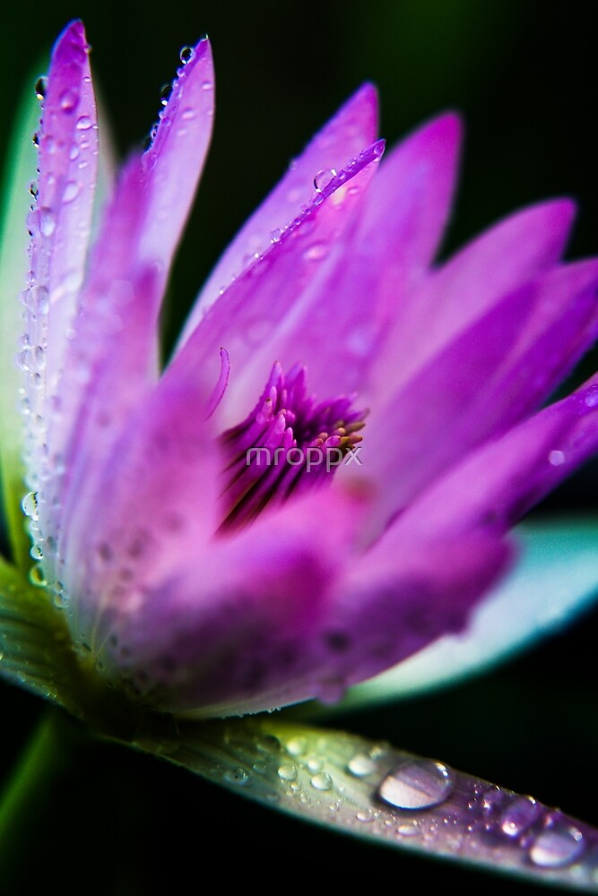 Water Lily by mroppx