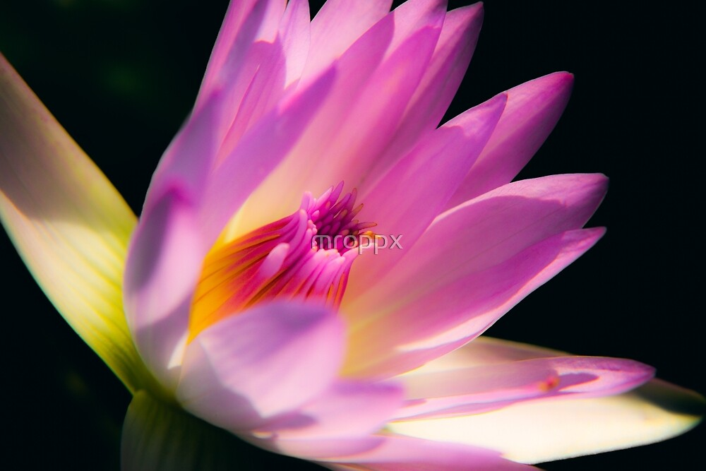 The Beauty Lotus Flower by mroppx