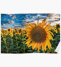 Sunflowers field Poster