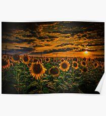 Sunflowers field landscape Poster