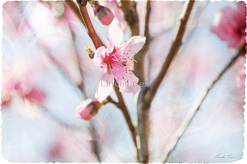 Blossom and Tulle by Linda Lees