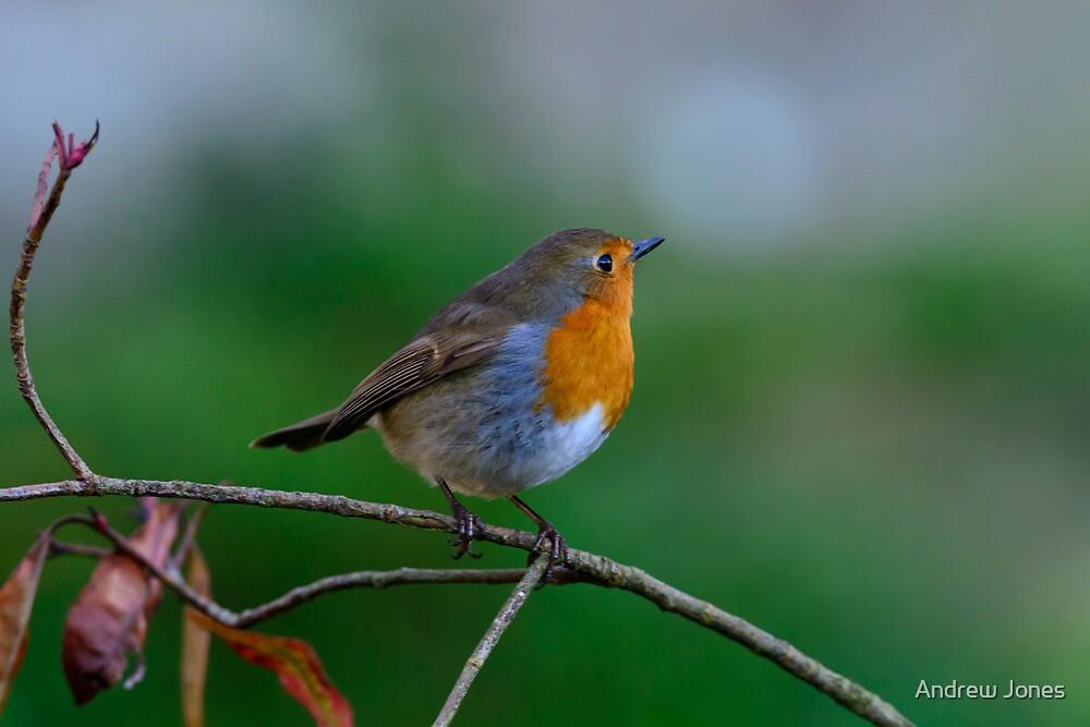 Robin, County Kilkenny, Ireland by Andrew Jones