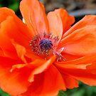 poppy by telley20