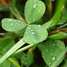 clover by telley20