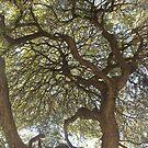 San Antonio Oak by billiebowler