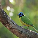 Green Jay by Richard G Witham