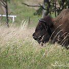 Buffalo Gal by NatureExplora