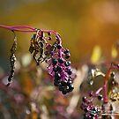 Autumn Pokeweed I  by NatureExplora