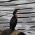 Queen Cormorant by NatureExplora