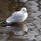 Reflective Seagull by NatureExplora