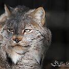 Beautiful Canadian Lynx by NatureExplora