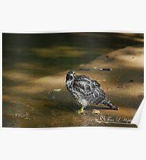 Bathing Broad Winged Hawk  Poster