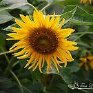 Leaning Sunflower by NatureExplora