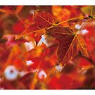 Little Red leaf by PHILIP H.P. WONG
