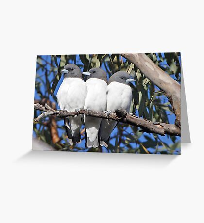 White-breasted Woodswallows ~ Out of Step Greeting Card
