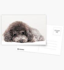 toy poodle Postcards