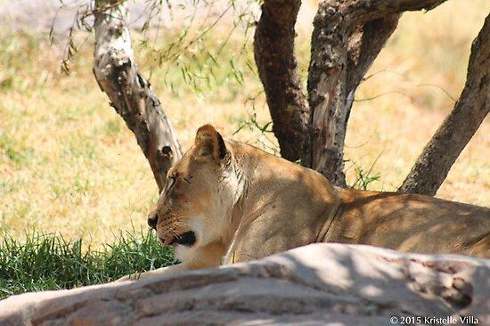 Lioness by KVphotos