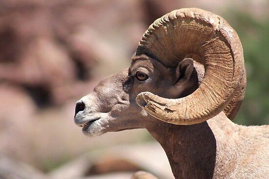 Big horn sheep by KVphotos