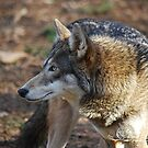 Alert Red Wolf  by NatureExplora