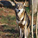 Debonair Red Wolf by NatureExplora