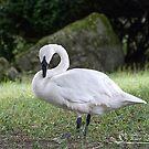 Trumpeter Swan Summer by NatureExplora
