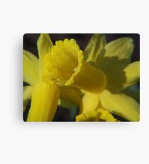 Early Daffodils Canvas Print