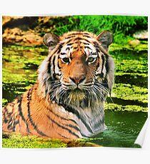 Bathing Tiger Poster