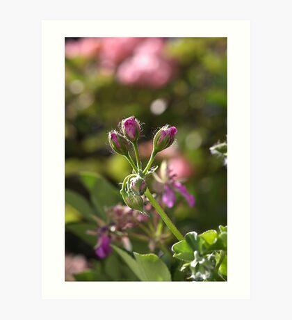 flower-geranium buds Art Print