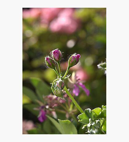flower-geranium buds Photographic Print