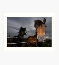 Iceland Ponys Art Print
