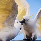 Sulphur-crested Cockatoo (Cacatua galerita) by Manfred Belau