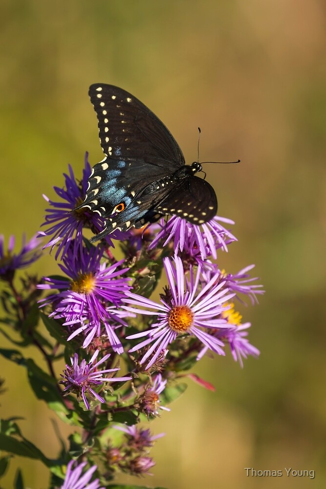 Black Swallowtail and Aster 2013-1  by Thomas Young