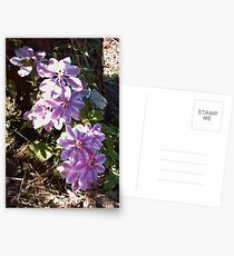 Clematis 'Nelly Moser' Postcards