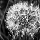 Black & White Dandelion seed head by Hugh McKean