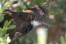 Eastern Whipbird ~ The Whip Cracker  by Robert Elliott