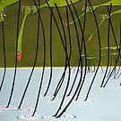 Water striders by Patricia Van Lubeck