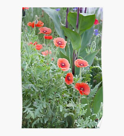 Poppies Abound Poster