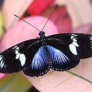 Doris Longwing - Laparus doris doris blue by Lepidoptera
