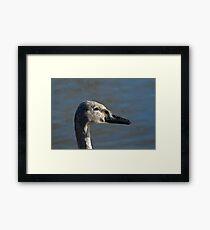 Trumpeter Swan Cygnet Framed Print