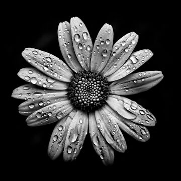 Backyard Flowers In Black And White 16 After The Storm by learningcurveca