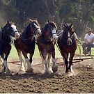 Clydesdales Churning Up The Dust  by Bev Pascoe