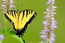Swallowtail by NatureGreeting Cards ©ccwri
