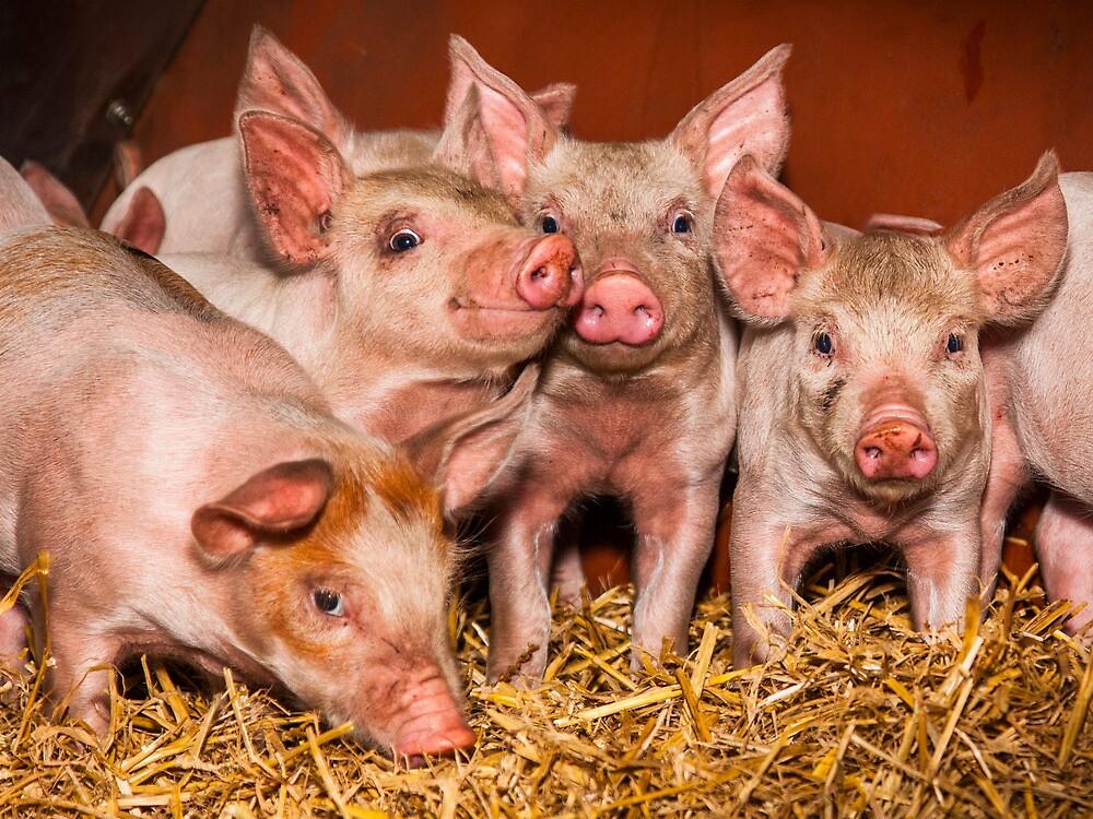 Piglets by Jason Smalley